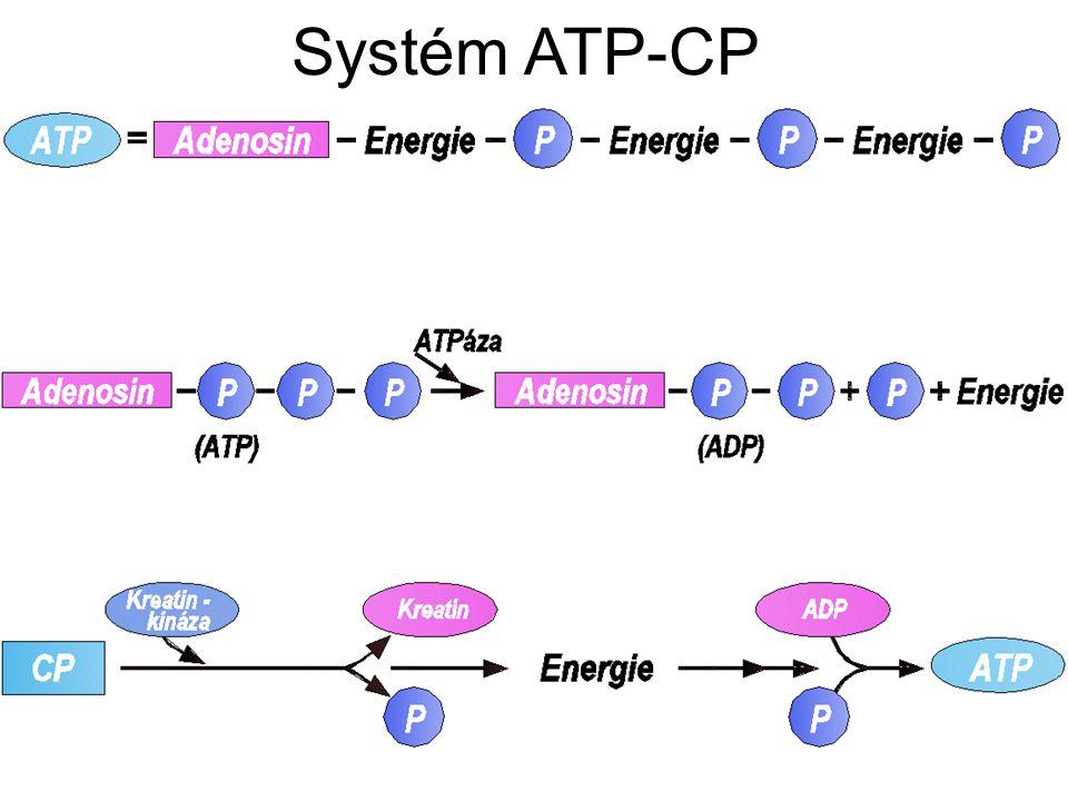 2) Anaerobní glykolýza Rychlostně vytrvalostní zatížení od 15 – 50 s využívá ATP a CP, navíc anaerobní glykolýzu s tvorbou laktátu.