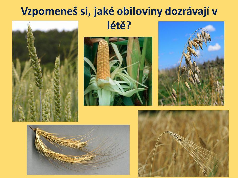Vzpomeneš si, jaké obiloviny dozrávají v létě?