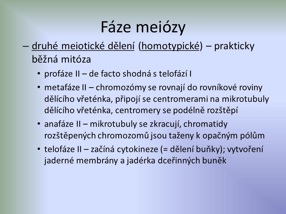 Fáze meiózy – druhé meiotické dělení (homotypické) – prakticky běžná mitóza profáze II – de facto shodná s telofází I metafáze II – chromozómy se rovnají do rovníkové roviny dělícího vřeténka, připojí se centromerami na mikrotubuly dělícího vřeténka, centromery se podélně rozštěpí anafáze II – mikrotubuly se zkracují, chromatidy rozštěpených chromozomů jsou taženy k opačným pólům telofáze II – začíná cytokineze (= dělení buňky); vytvoření jaderné membrány a jadérka dceřinných buněk