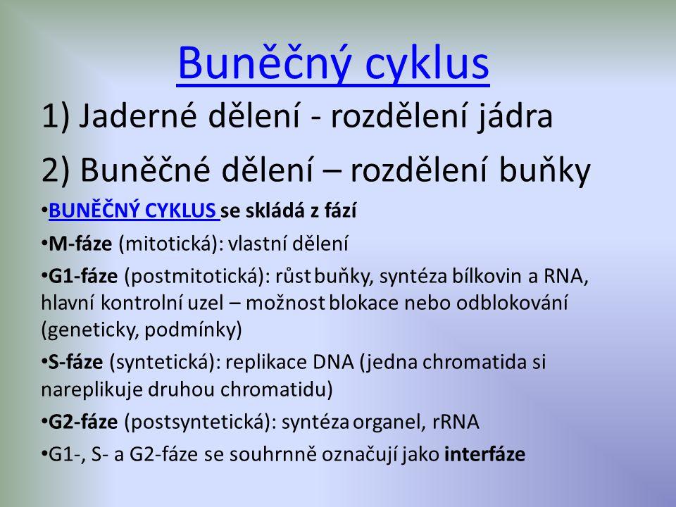 Buněčný cyklus 1) Jaderné dělení - rozdělení jádra 2) Buněčné dělení – rozdělení buňky BUNĚČNÝ CYKLUS se skládá z fází BUNĚČNÝ CYKLUS M-fáze (mitotická): vlastní dělení G1-fáze (postmitotická): růst buňky, syntéza bílkovin a RNA, hlavní kontrolní uzel – možnost blokace nebo odblokování (geneticky, podmínky) S-fáze (syntetická): replikace DNA (jedna chromatida si nareplikuje druhou chromatidu) G2-fáze (postsyntetická): syntéza organel, rRNA G1-, S- a G2-fáze se souhrnně označují jako interfáze