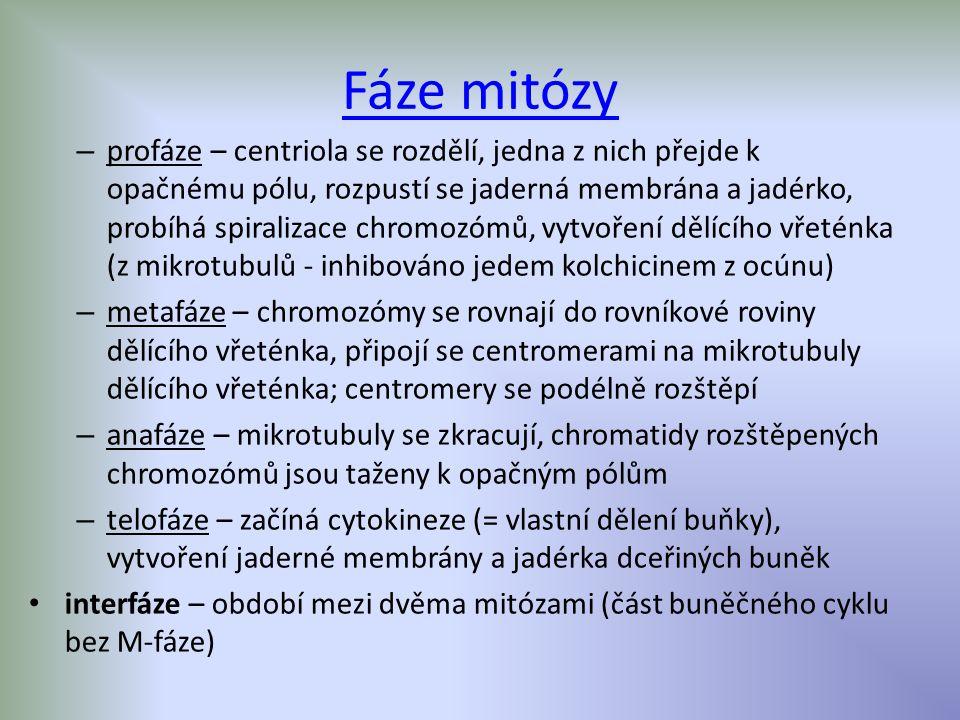 Mitóza