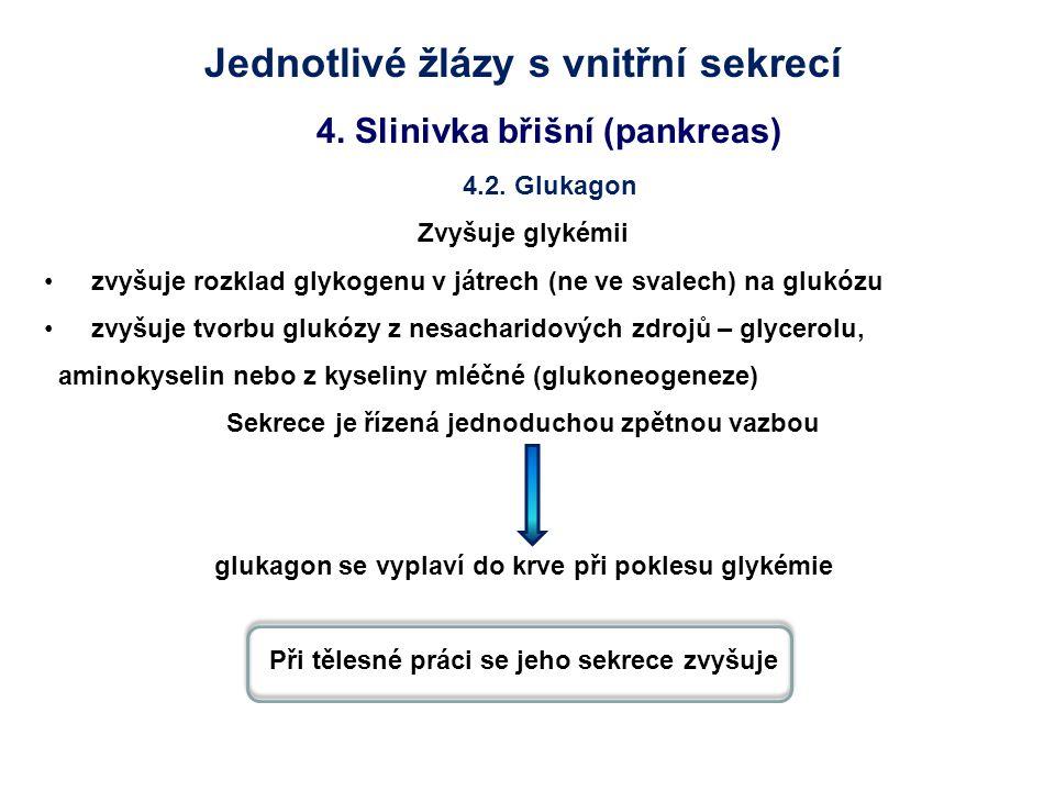Jednotlivé žlázy s vnitřní sekrecí 4. Slinivka břišní (pankreas) 4.2. Glukagon Zvyšuje glykémii zvyšuje rozklad glykogenu v játrech (ne ve svalech) na