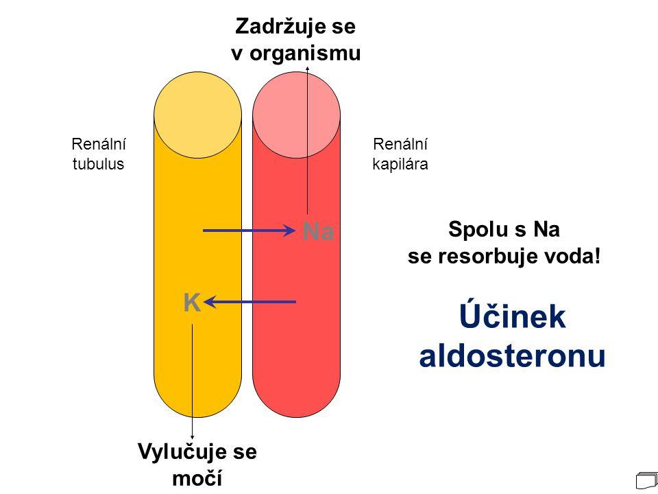 Renální tubulus Renální kapilára Na K Účinek aldosteronu Vylučuje se močí Zadržuje se v organismu Spolu s Na se resorbuje voda!
