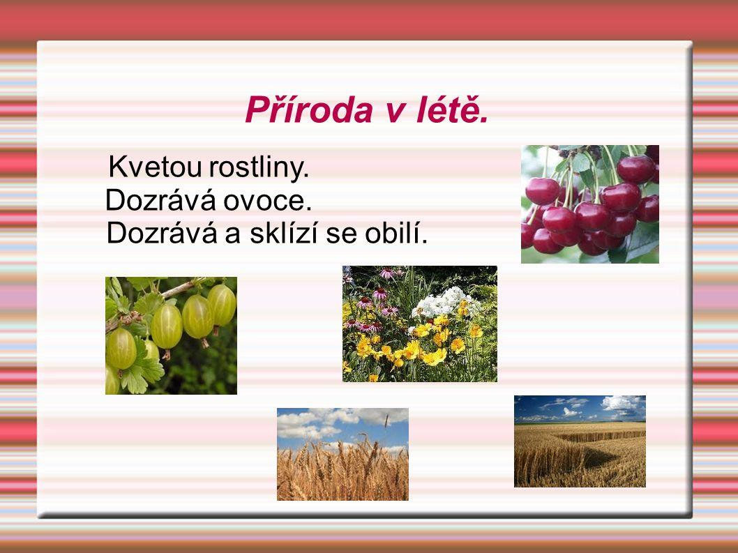 Kvetou rostliny. Dozrává ovoce. Dozrává a sklízí se obilí. Příroda v létě.