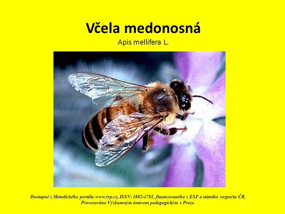 Včela medonosná Apis mellifera L. Dostupné z Metodického portálu www.rvp.cz, ISSN: 1802-4785, financovaného z ESF a státního rozpočtu ČR. Provozováno