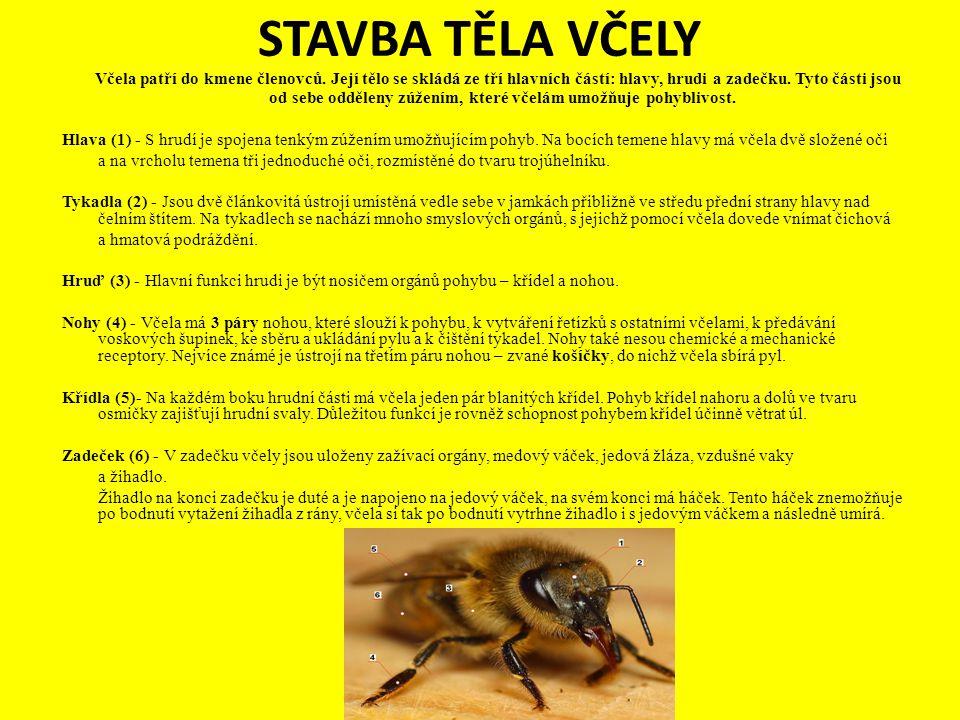STAVBA TĚLA VČELY Včela patří do kmene členovců. Její tělo se skládá ze tří hlavních částí: hlavy, hrudi a zadečku. Tyto části jsou od sebe odděleny z