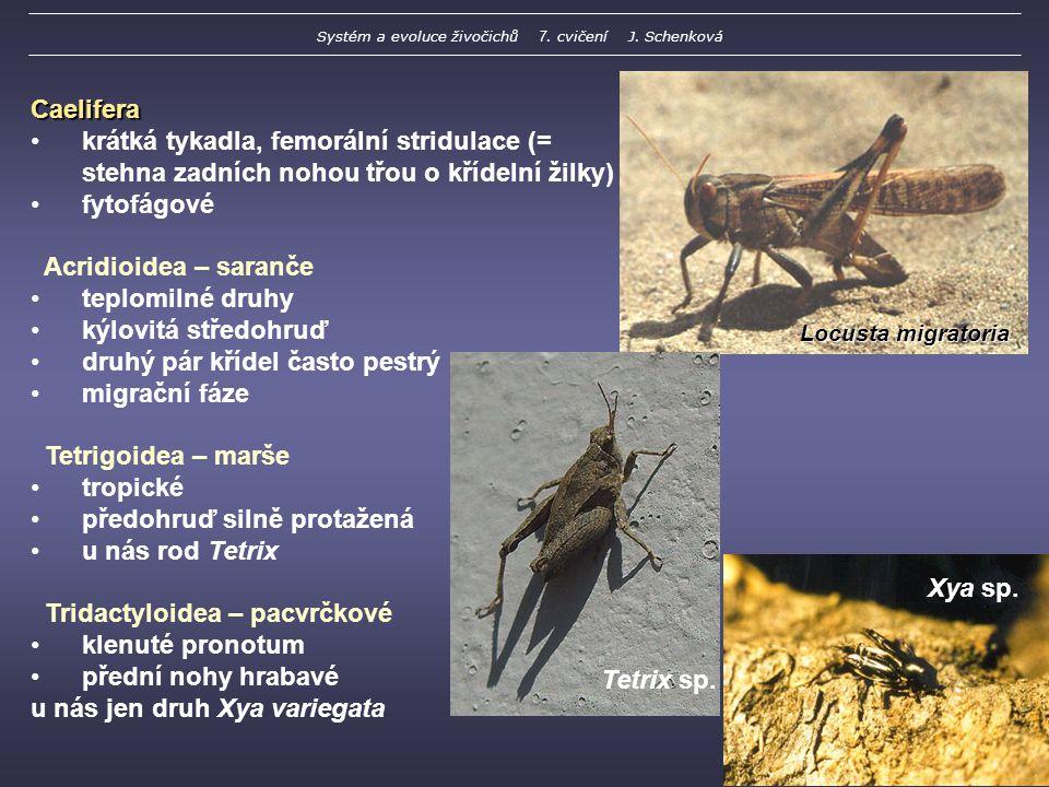 Locusta migratoria Caelifera krátká tykadla, femorální stridulace (= stehna zadních nohou třou o křídelní žilky) fytofágové Acridioidea – saranče teplomilné druhy kýlovitá středohruď druhý pár křídel často pestrý migrační fáze Tetrigoidea – marše tropické předohruď silně protažená u nás rod Tetrix Tridactyloidea – pacvrčkové klenuté pronotum přední nohy hrabavé u nás jen druh Xya variegata Tetrix sp.
