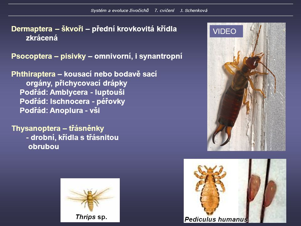 Thrips sp.