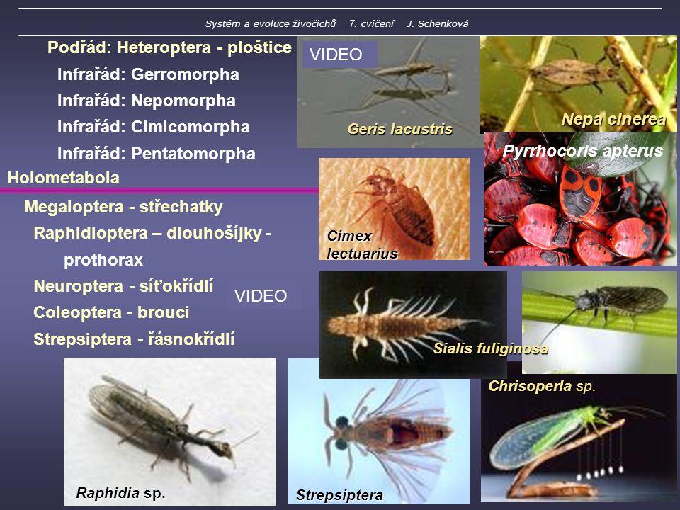 Geris lacustris Strepsiptera Podřád: Heteroptera - ploštice Infrařád: Gerromorpha Infrařád: Nepomorpha Infrařád: Cimicomorpha Infrařád: Pentatomorpha Megaloptera - střechatky Raphidioptera – dlouhošíjky - prothorax Neuroptera - síťokřídlí Coleoptera - brouci Strepsiptera - řásnokřídlí Cimex lectuarius Nepa cinerea Chrisoperla sp.