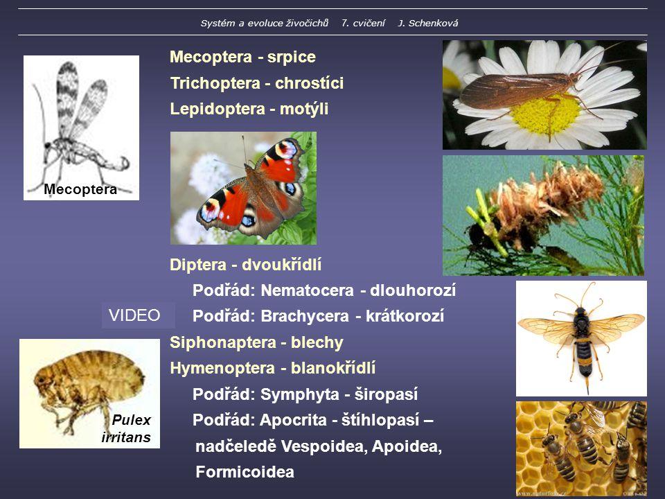 Mecoptera - srpice Trichoptera - chrostíci Lepidoptera - motýli Diptera - dvoukřídlí Podřád: Nematocera - dlouhorozí Podřád: Brachycera - krátkorozí Siphonaptera - blechy Hymenoptera - blanokřídlí Podřád: Symphyta - širopasí Podřád: Apocrita - štíhlopasí – nadčeledě Vespoidea, Apoidea, Formicoidea Pulex irritans Mecoptera VIDEO Systém a evoluce živočichů 7.