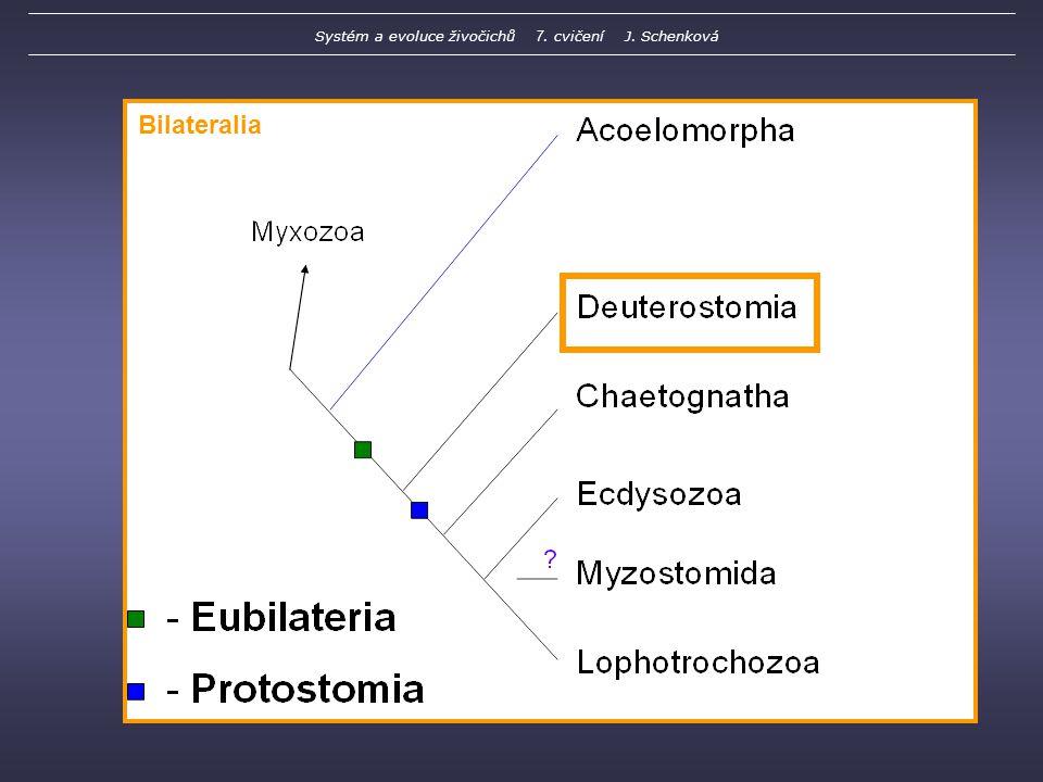 Bilateralia Systém a evoluce živočichů 7. cvičení J. Schenková