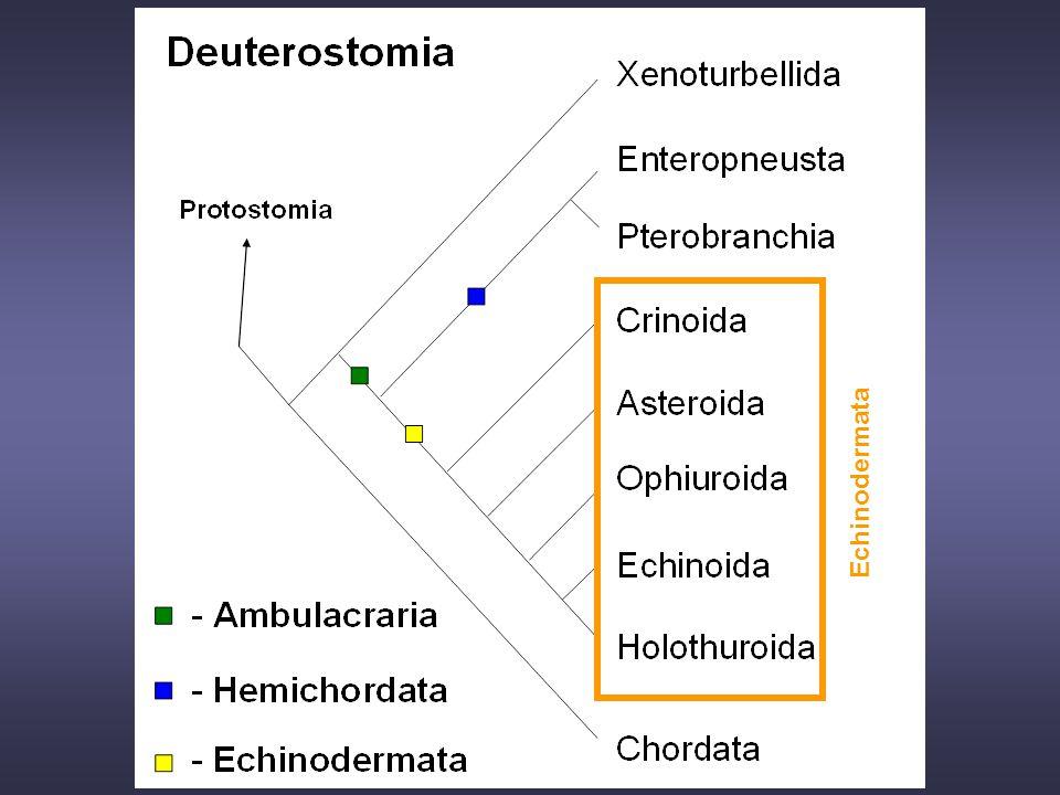 12. cvičení Schenková Echinodermata