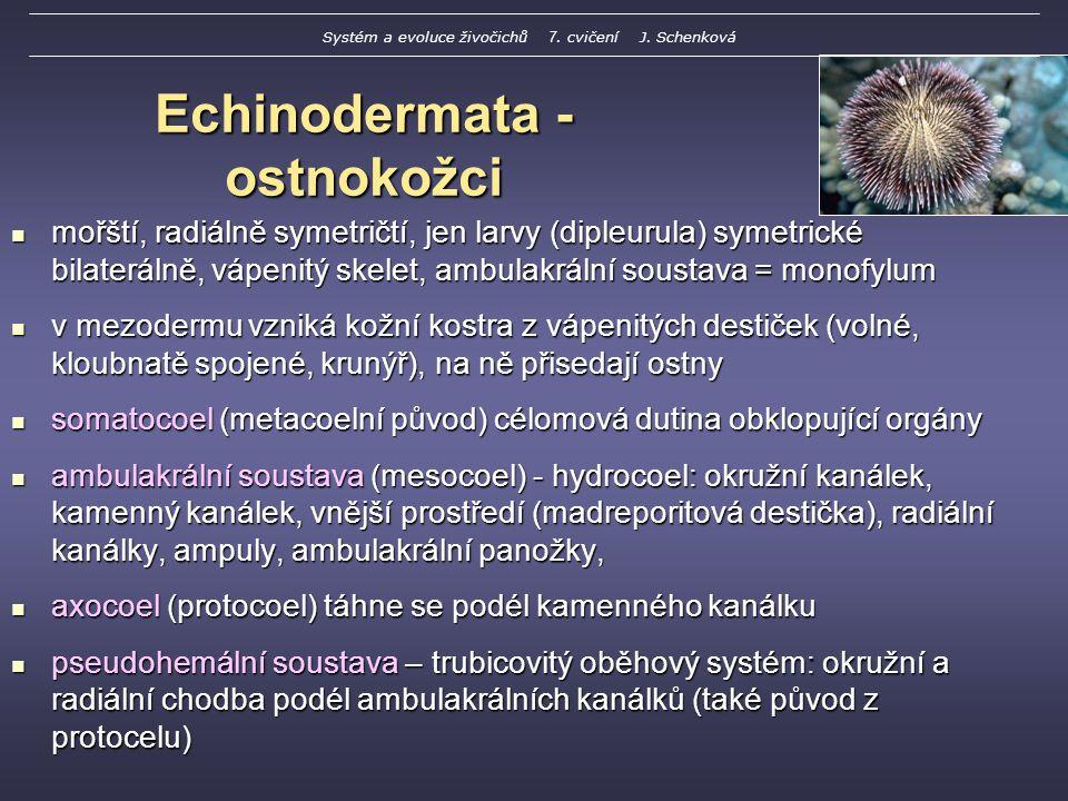 Echinodermata - ostnokožci mořští, radiálně symetričtí, jen larvy (dipleurula) symetrické bilaterálně, vápenitý skelet, ambulakrální soustava = monofylum mořští, radiálně symetričtí, jen larvy (dipleurula) symetrické bilaterálně, vápenitý skelet, ambulakrální soustava = monofylum v mezodermu vzniká kožní kostra z vápenitých destiček (volné, kloubnatě spojené, krunýř), na ně přisedají ostny v mezodermu vzniká kožní kostra z vápenitých destiček (volné, kloubnatě spojené, krunýř), na ně přisedají ostny somatocoel (metacoelní původ) célomová dutina obklopující orgány somatocoel (metacoelní původ) célomová dutina obklopující orgány ambulakrální soustava (mesocoel) - hydrocoel: okružní kanálek, kamenný kanálek, vnější prostředí (madreporitová destička), radiální kanálky, ampuly, ambulakrální panožky, ambulakrální soustava (mesocoel) - hydrocoel: okružní kanálek, kamenný kanálek, vnější prostředí (madreporitová destička), radiální kanálky, ampuly, ambulakrální panožky, axocoel (protocoel) táhne se podél kamenného kanálku axocoel (protocoel) táhne se podél kamenného kanálku pseudohemální soustava – trubicovitý oběhový systém: okružní a radiální chodba podél ambulakrálních kanálků (také původ z protocelu) pseudohemální soustava – trubicovitý oběhový systém: okružní a radiální chodba podél ambulakrálních kanálků (také původ z protocelu) Systém a evoluce živočichů 7.