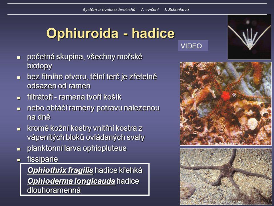 Ophiuroida - hadice početná skupina, všechny mořské biotopy početná skupina, všechny mořské biotopy bez řitního otvoru, tělní terč je zřetelně odsazen od ramen bez řitního otvoru, tělní terč je zřetelně odsazen od ramen filtrátoři - ramena tvoří košík filtrátoři - ramena tvoří košík nebo obtáčí rameny potravu nalezenou na dně nebo obtáčí rameny potravu nalezenou na dně kromě kožní kostry vnitřní kostra z vápenitých bloků ovládaných svaly kromě kožní kostry vnitřní kostra z vápenitých bloků ovládaných svaly planktonní larva ophiopluteus planktonní larva ophiopluteus fissiparie fissiparie Ophiothrix fragilis hadice křehká Ophioderma longicauda hadice dlouhoramenná VIDEO Systém a evoluce živočichů 7.