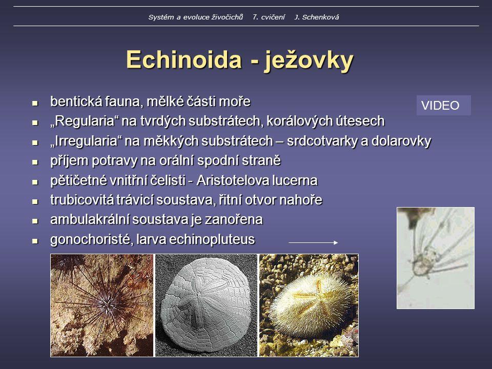 """Echinoida - ježovky bentická fauna, mělké části moře bentická fauna, mělké části moře """"Regularia na tvrdých substrátech, korálových útesech """"Regularia na tvrdých substrátech, korálových útesech """"Irregularia na měkkých substrátech – srdcotvarky a dolarovky """"Irregularia na měkkých substrátech – srdcotvarky a dolarovky příjem potravy na orální spodní straně příjem potravy na orální spodní straně pětičetné vnitřní čelisti - Aristotelova lucerna pětičetné vnitřní čelisti - Aristotelova lucerna trubicovitá trávicí soustava, řitní otvor nahoře trubicovitá trávicí soustava, řitní otvor nahoře ambulakrální soustava je zanořena ambulakrální soustava je zanořena gonochoristé, larva echinopluteus gonochoristé, larva echinopluteus VIDEO Systém a evoluce živočichů 7."""