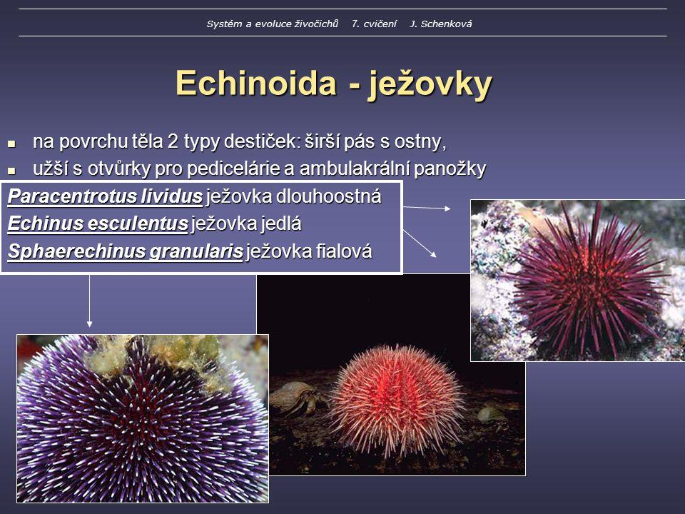 Echinoida - ježovky na povrchu těla 2 typy destiček: širší pás s ostny, na povrchu těla 2 typy destiček: širší pás s ostny, užší s otvůrky pro pedicelárie a ambulakrální panožky užší s otvůrky pro pedicelárie a ambulakrální panožky Paracentrotus lividus ježovka dlouhoostná Echinus esculentus ježovka jedlá Sphaerechinus granularis ježovka fialová Systém a evoluce živočichů 7.