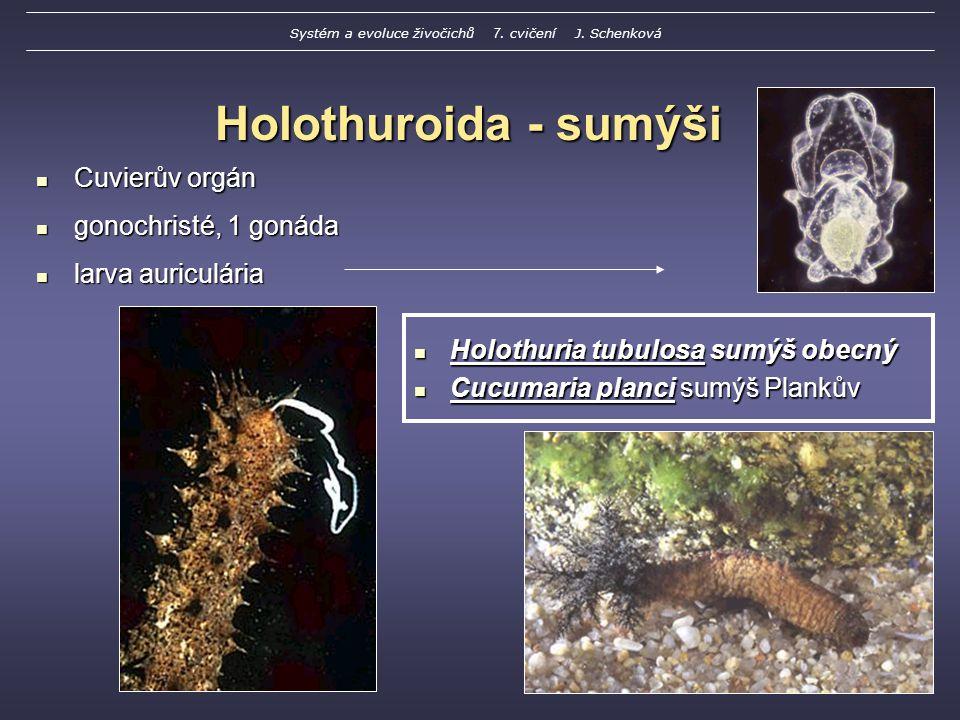 Holothuroida - sumýši Holothuria tubulosa sumýš obecný Holothuria tubulosa sumýš obecný Cucumaria planci sumýš Plankův Cucumaria planci sumýš Plankův Cuvierův orgán Cuvierův orgán gonochristé, 1 gonáda gonochristé, 1 gonáda larva auriculária larva auriculária Systém a evoluce živočichů 7.
