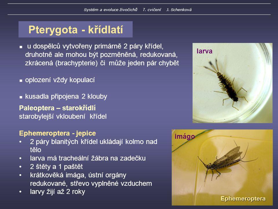 Pterygota - křídlatí u dospělců vytvořeny primárně 2 páry křídel, druhotně ale mohou být pozměněná, redukovaná, zkrácená (brachypterie) či může jeden pár chybět oplození vždy kopulací kusadla připojena 2 klouby Paleoptera – starokřídlí starobylejší vkloubení křídel Ephemeroptera - jepice 2 páry blanitých křídel ukládají kolmo nad tělo larva má tracheální žábra na zadečku 2 štěty a 1 paštět krátkověká imága, ústní orgány redukované, střevo vyplněné vzduchem larvy žijí až 2 roky Ephemeroptera larva imágo Systém a evoluce živočichů 7.