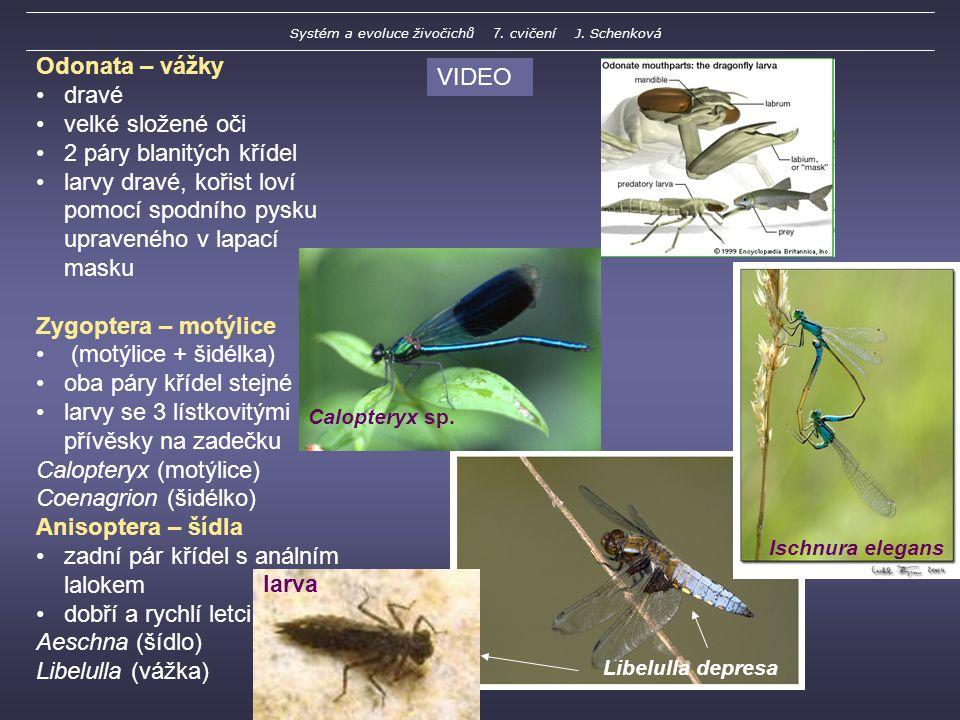 Odonata – vážky dravé velké složené oči 2 páry blanitých křídel larvy dravé, kořist loví pomocí spodního pysku upraveného v lapací masku Zygoptera – motýlice (motýlice + šidélka) oba páry křídel stejné larvy se 3 lístkovitými přívěsky na zadečku Calopteryx (motýlice) Coenagrion (šidélko) Anisoptera – šídla zadní pár křídel s análním lalokem dobří a rychlí letci Aeschna (šídlo) Libelulla (vážka) larva Calopteryx sp.