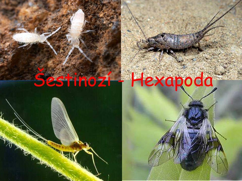 Šestinozí (Hexapoda) tělo členěno na 3 oddíly – hlava, hruď a zadeček na hlavě se nachází 1 pár tykadel, mandibul a maxil na hrudi tři páry článkovaných kráčivých končetin a dva páry křídel Členění Hexapoda: Hexapoda: Entognatha (Parainsecta + Diplura) + Ectognatha (ostatní hmyz = Insecta s.