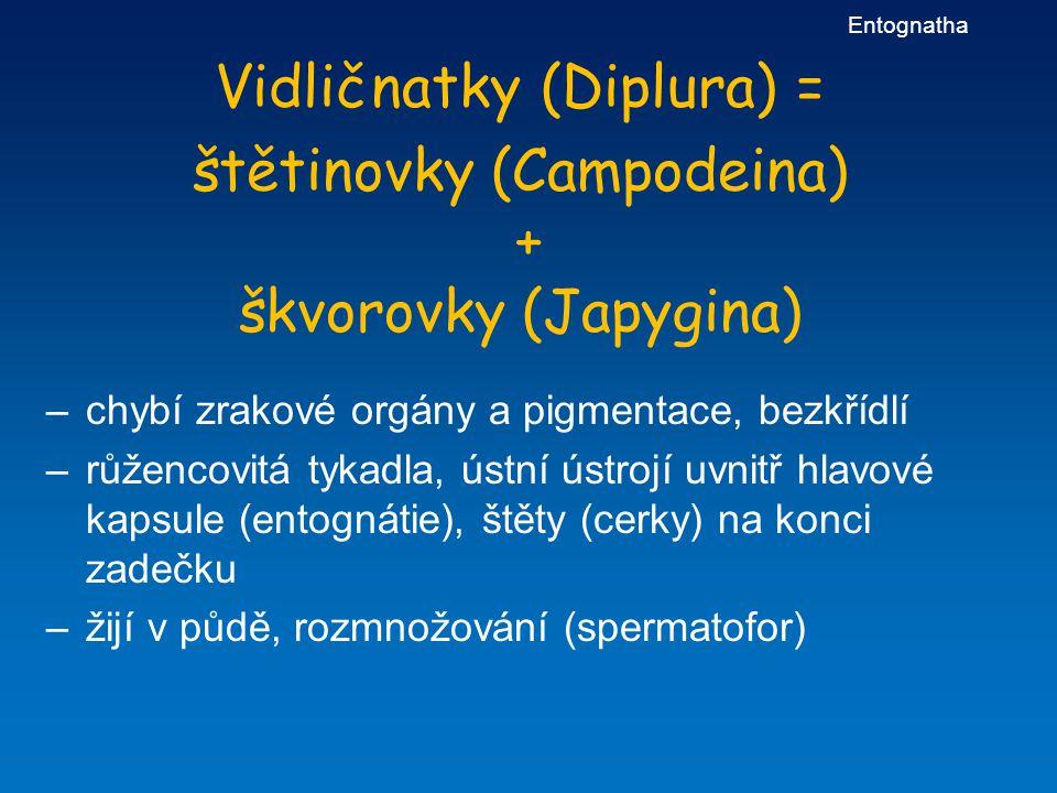 Vidličnatky (Diplura) = štětinovky (Campodeina) + škvorovky (Japygina) –chybí zrakové orgány a pigmentace, bezkřídlí –růžencovitá tykadla, ústní ústro