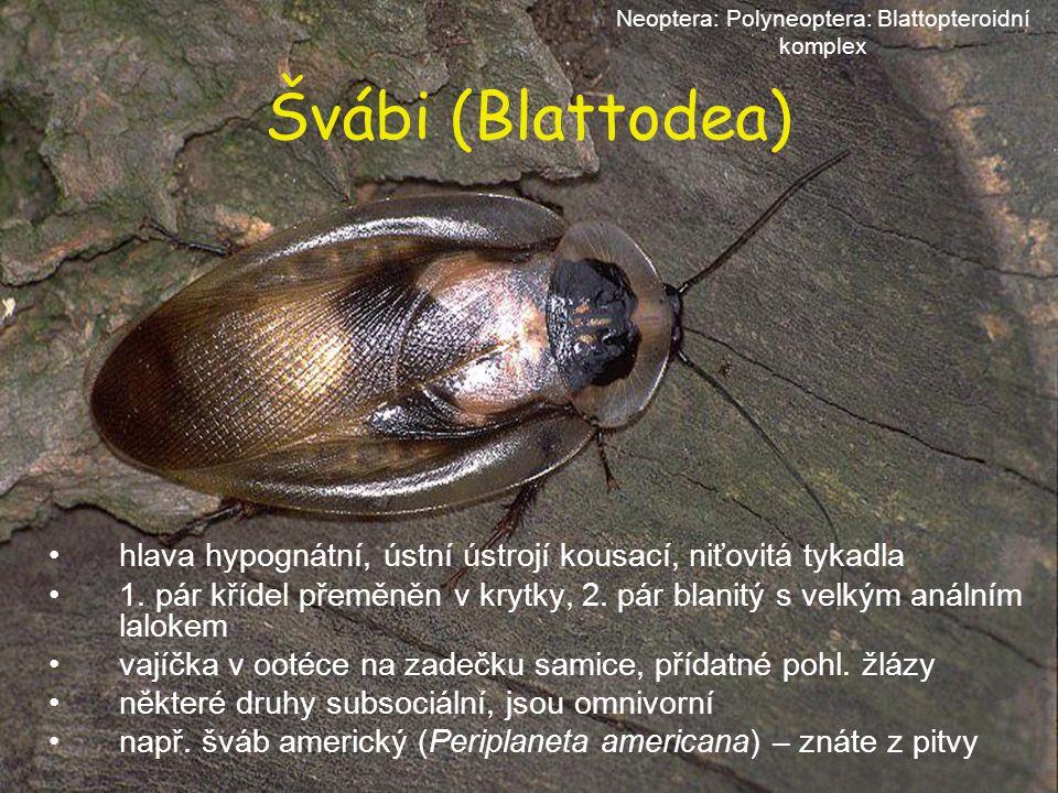 Švábi (Blattodea) hlava hypognátní, ústní ústrojí kousací, niťovitá tykadla 1. pár křídel přeměněn v krytky, 2. pár blanitý s velkým análním lalokem v