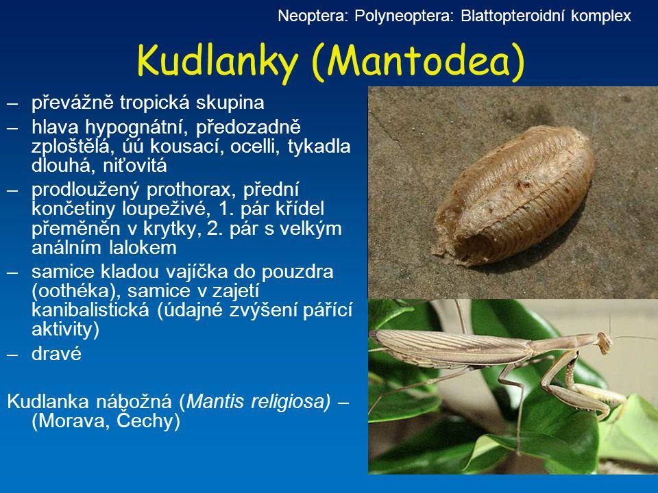 Kudlanky (Mantodea) –převážně tropická skupina –hlava hypognátní, předozadně zploštělá, úú kousací, ocelli, tykadla dlouhá, niťovitá –prodloužený prot
