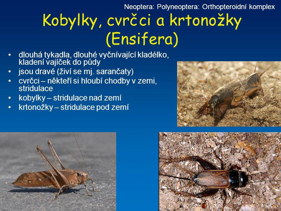 Kobylky, cvrčci a krtonožky (Ensifera) Neoptera: Polyneoptera: Orthopteroidní komplex dlouhá tykadla, dlouhé vyčnívající kladélko, kladení vajíček do