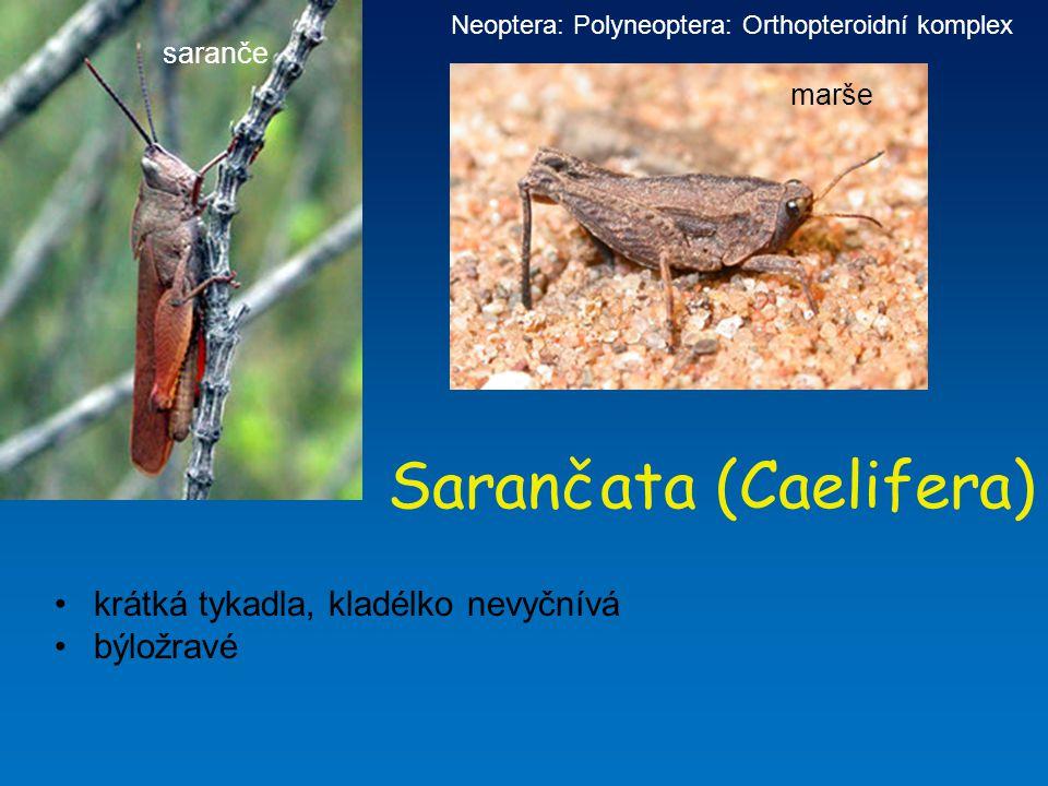 Sarančata (Caelifera) krátká tykadla, kladélko nevyčnívá býložravé Neoptera: Polyneoptera: Orthopteroidní komplex saranče marše