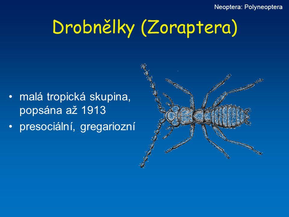 Drobnělky (Zoraptera) malá tropická skupina, popsána až 1913 presociální, gregariozní Neoptera: Polyneoptera