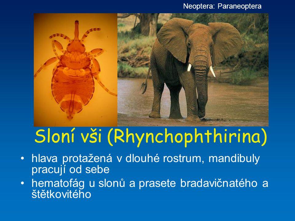 Sloní vši (Rhynchophthirina) hlava protažená v dlouhé rostrum, mandibuly pracují od sebe hematofág u slonů a prasete bradavičnatého a štětkovitého Neo
