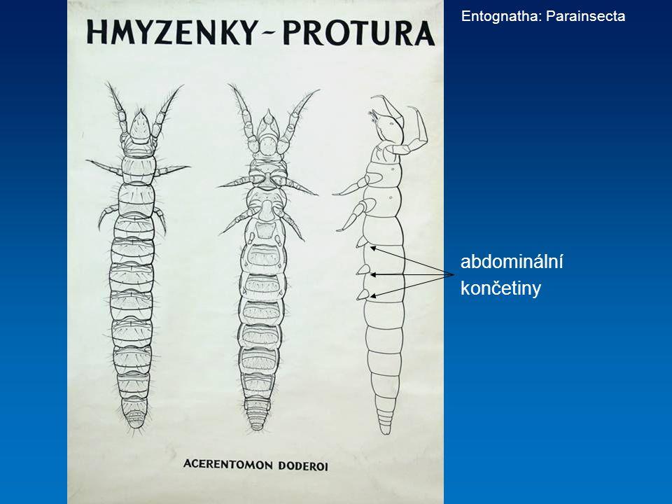 abdominální končetiny Entognatha: Parainsecta