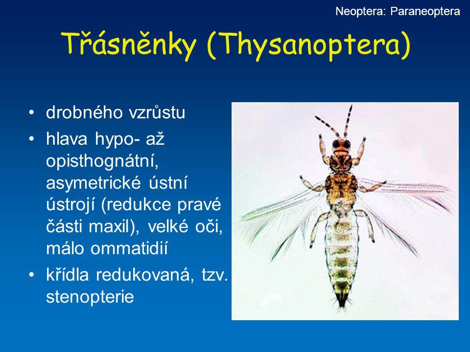 Třásněnky (Thysanoptera) drobného vzrůstu hlava hypo- až opisthognátní, asymetrické ústní ústrojí (redukce pravé části maxil), velké oči, málo ommatid