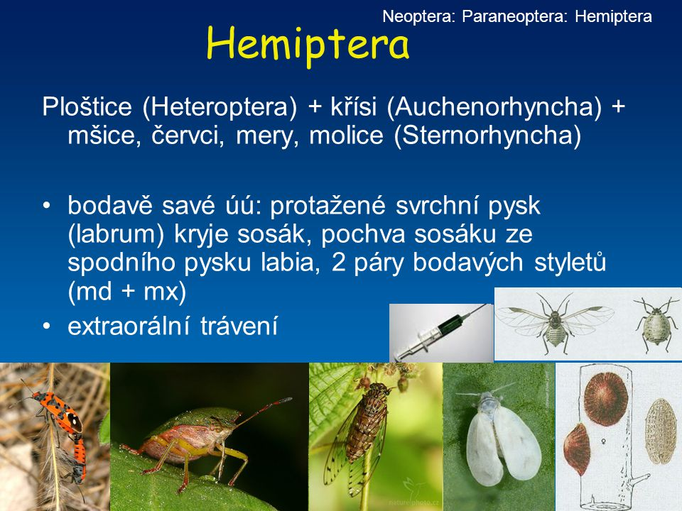 Hemiptera Ploštice (Heteroptera) + křísi (Auchenorhyncha) + mšice, červci, mery, molice (Sternorhyncha) bodavě savé úú: protažené svrchní pysk (labrum
