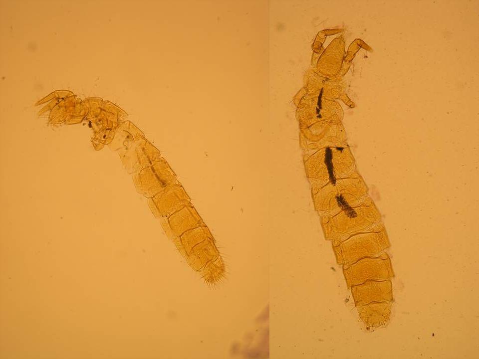 Chvostnatky (Archaeognatha) –protáhlé válcovité tělo, světlé nebo pigmentované –velké složené oči, dotýkají se, dlouhá niťovitá tykadla, mandibula s jedním kloubem, apterní (bezkřídlé) –na zadečku dva článkované štěty (cerci) a jeden paštět (terminální filament) –spermatofor, skákají, žijí v hrabance, živí se řasami, lišejníky nebo dravě Monocondylia