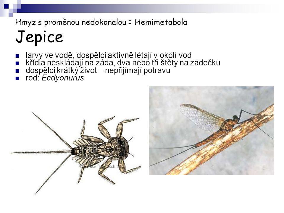 Hmyz s proměnou nedokonalou = Hemimetabola Jepice larvy ve vodě, dospělci aktivně létají v okolí vod křídla neskládají na záda, dva nebo tři štěty na