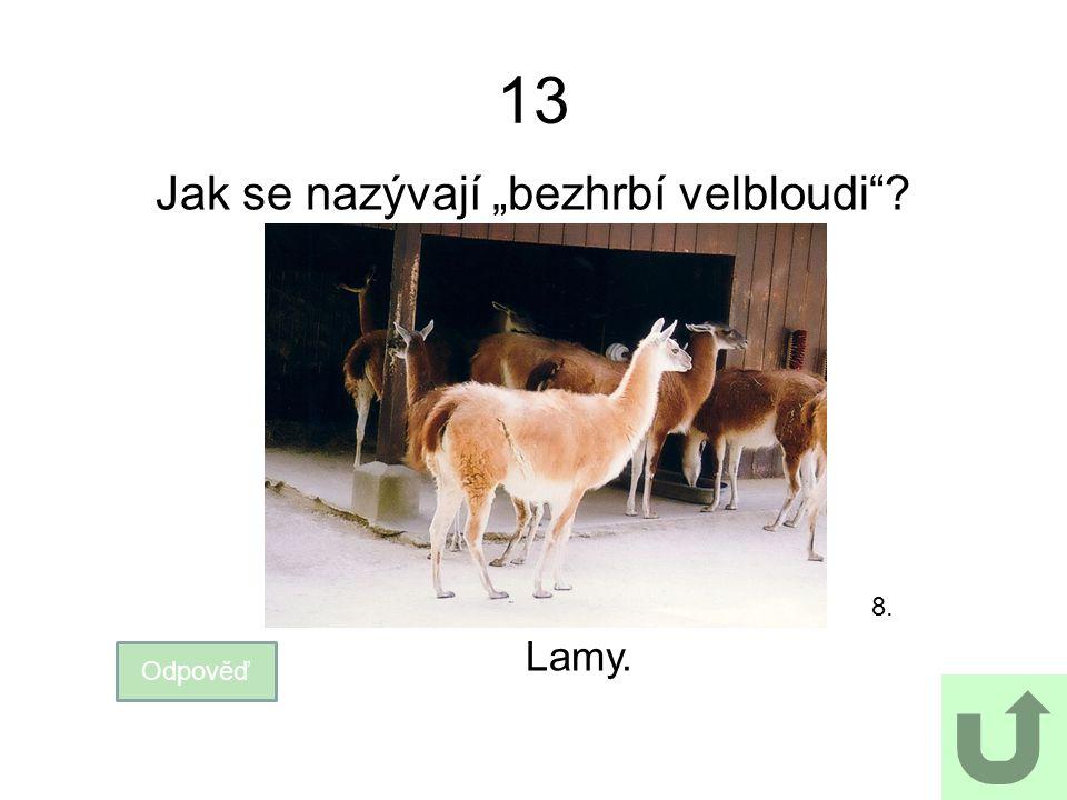 """13 Jak se nazývají """"bezhrbí velbloudi""""? Odpověď Lamy. 8."""