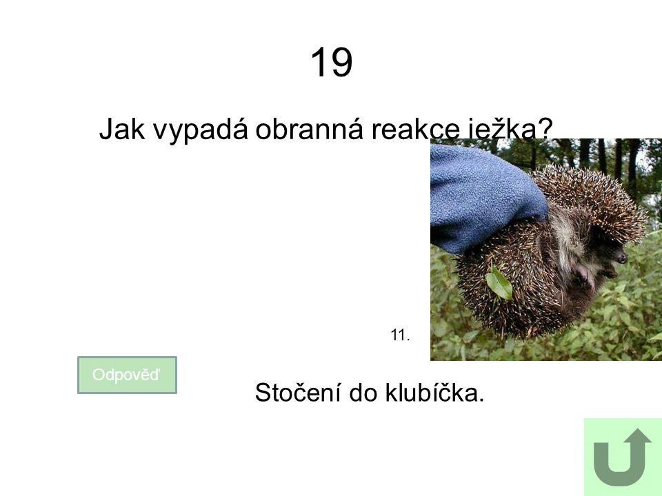 19 Jak vypadá obranná reakce ježka? Odpověď Stočení do klubíčka. 11.