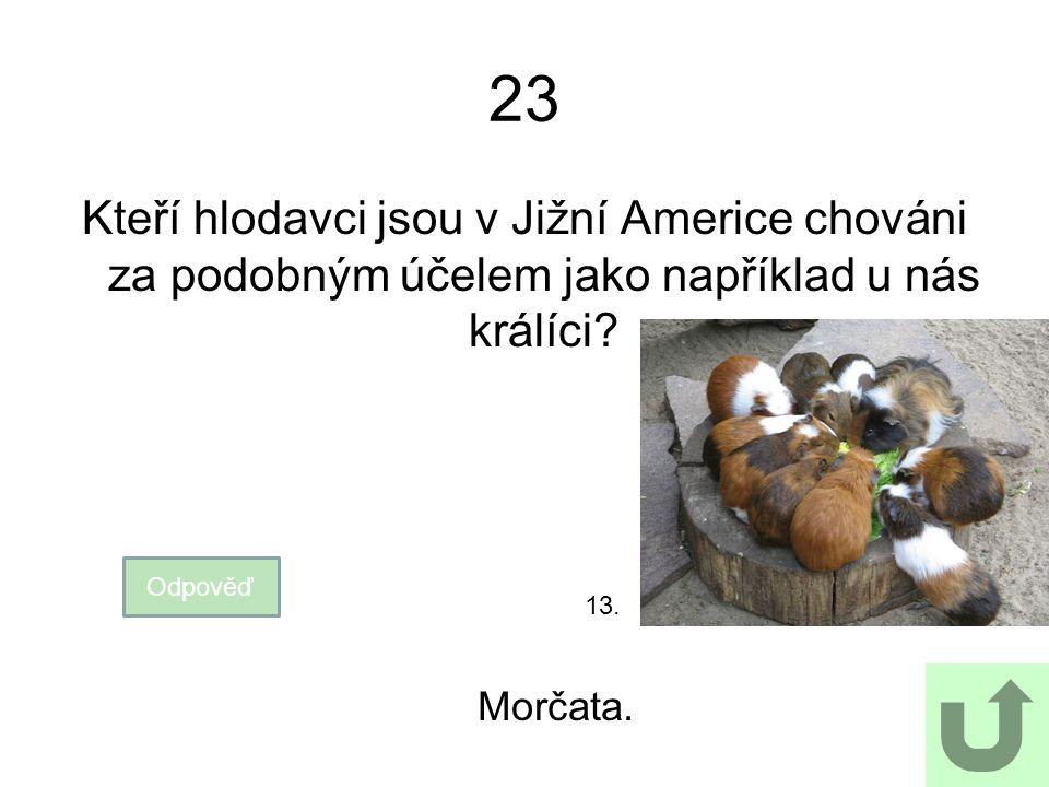 23 Kteří hlodavci jsou v Jižní Americe chováni za podobným účelem jako například u nás králíci? Odpověď Morčata. 13.
