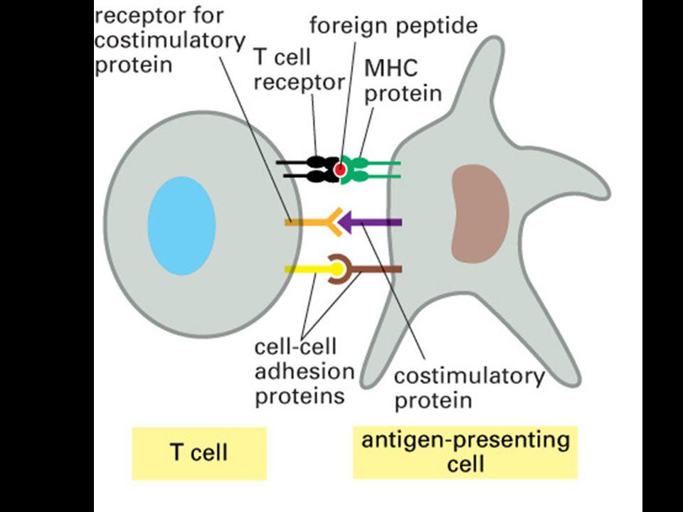 Buňky imunitního systému jsou schopné morgologické a funkční diferenciace