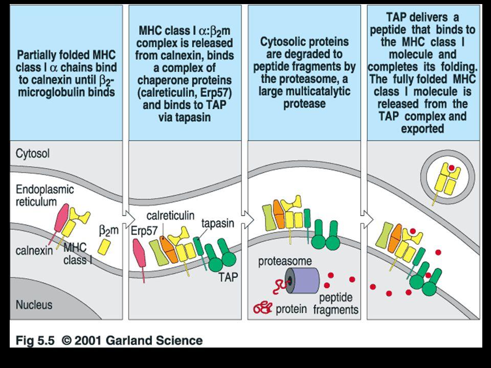 Antigenní prezentace a MHC glykoproteiny