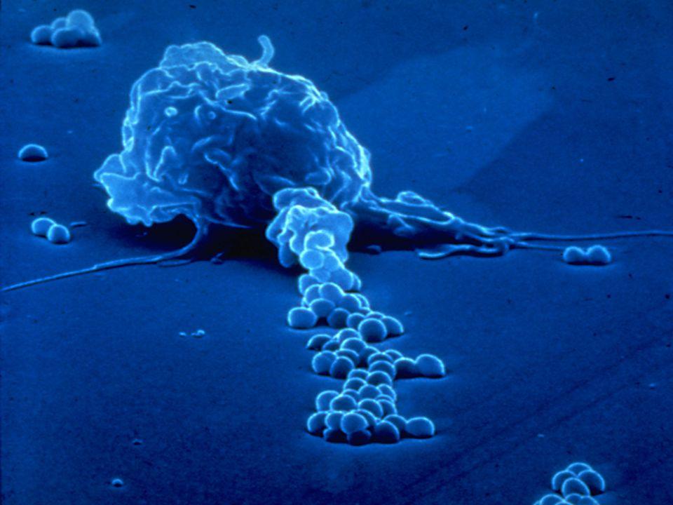 Makrofág a baktérie