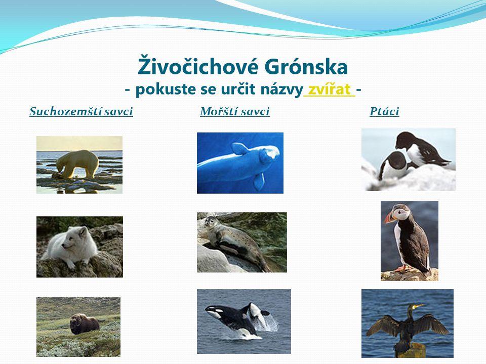 Živočichové Grónska - názvy zvířat - Suchozemští savci Mořští savciPtáci Medvěd lední Běluha mořskáAlkoun malý Liška polární Tuleň obecný Papuchalk bělobradý Pižmoň severní Kosatka draváKormorán velký