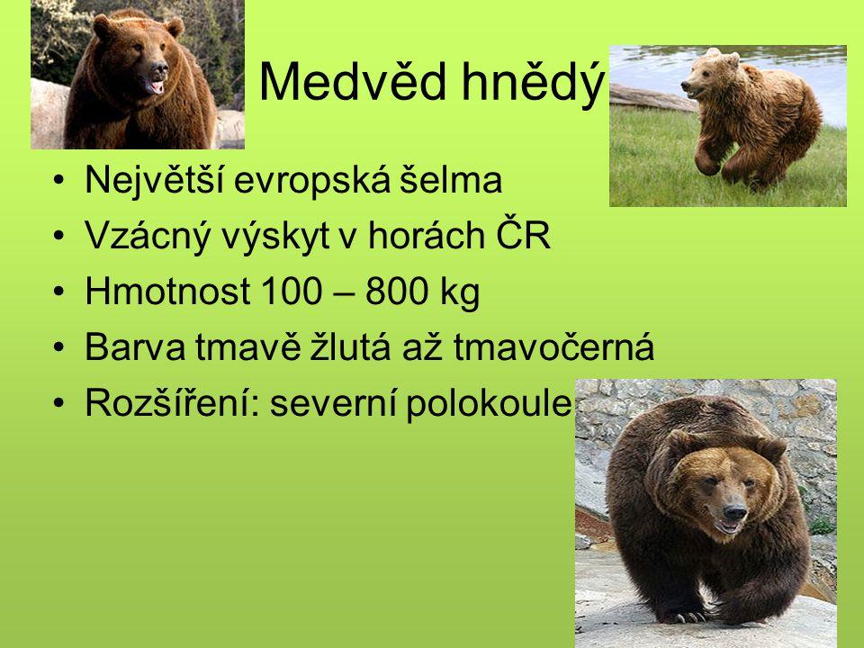 Medvěd hnědý Největší evropská šelma Vzácný výskyt v horách ČR Hmotnost 100 – 800 kg Barva tmavě žlutá až tmavočerná Rozšíření: severní polokoule