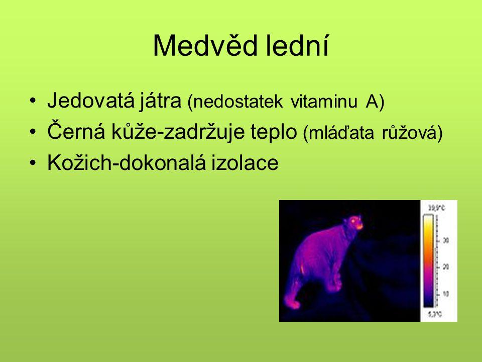 Medvěd lední Jedovatá játra (nedostatek vitaminu A) Černá kůže-zadržuje teplo (mláďata růžová) Kožich-dokonalá izolace