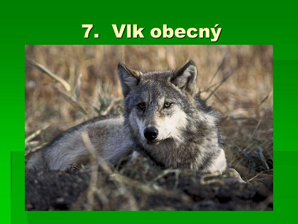 7. Vlk obecný