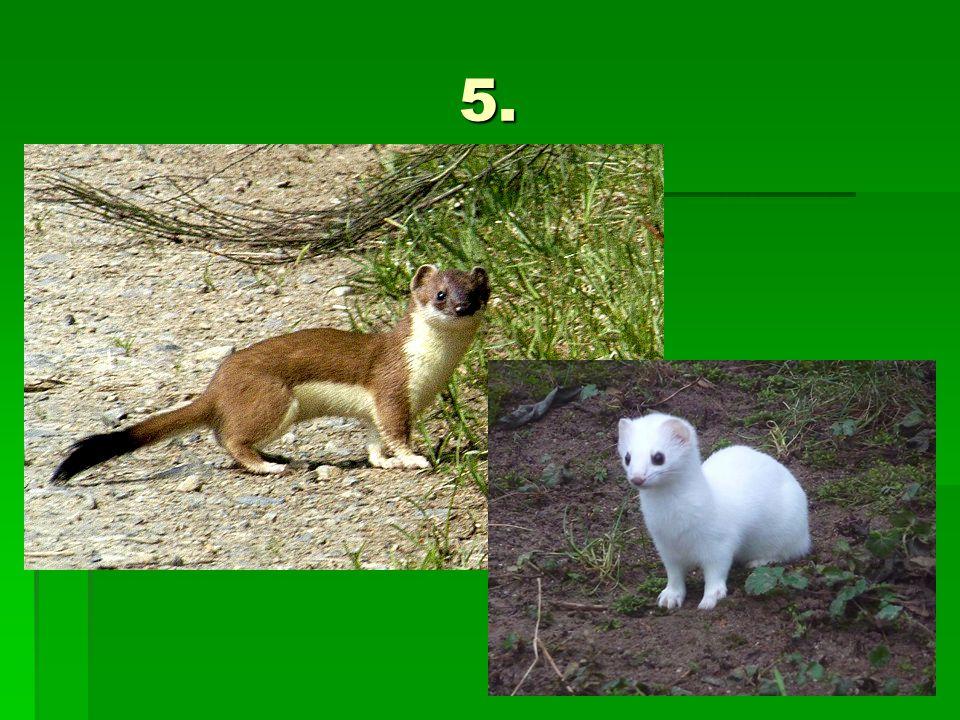 Řešení 1. Kuna lesní 2. Liška obecná 3. Rys ostrovid 4. Mýval severní 5. Lasice hranostaj