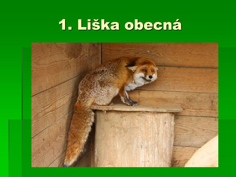 1. Liška obecná
