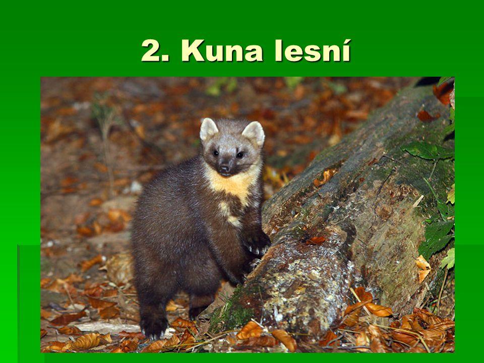 2. Kuna lesní