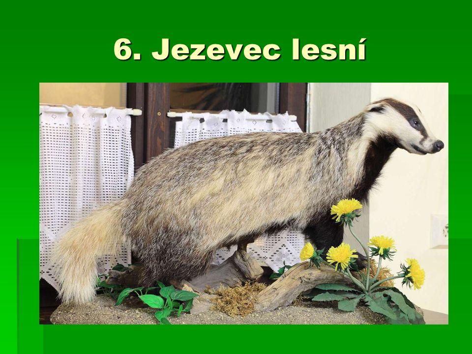 6. Jezevec lesní